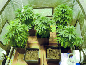Home Grown Cannabis plants.